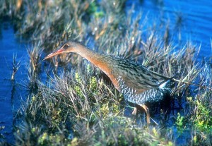 California Ridgway's Rail (formerly Clapper Rail)